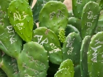 Graffiti on the cactus leaves