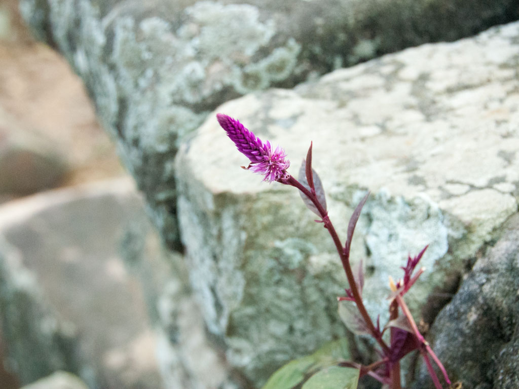 Magenta flower growing between the temples stones