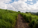 Path surrounded by green elephant grass