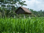 Rice field with small shade structure in the background