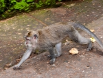 monkey-forest-ubud-bali-indonesia-a-monkey-on-the-move