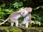 monkey-forest-ubud-bali-indonesia-d-two-monkeys-fighting