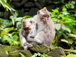 monkey-forest-ubud-bali-indonesia-e-monkeys-playing-together