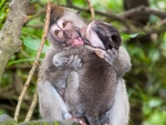 monkey-forest-ubud-bali-indonesia-f-two-monkeys-playing