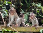 monkey-forest-ubud-bali-indonesia-g-three-small-monkeys-perched