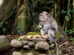 monkey-forest-ubud-bali-indonesia-h-large-monkey-enjoying-his-food