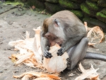 monkey-forest-ubud-bali-indonesia-i-a-monkey-getting-into-a-coconut