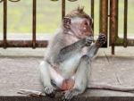 monkey-forest-ubud-bali-indonesia-j-monkey-eating-a-piece-of-grass