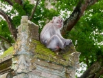 monkey-forest-ubud-bali-indonesia-l-monkey-perched-on-one-of-the-high-pillars