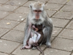 monkey-forest-ubud-bali-indonesia-p-mother-and-young-monkey