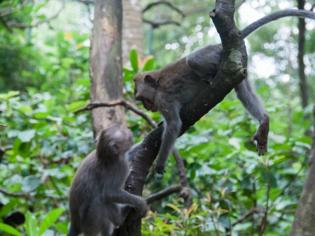 Two monkeys playing in the trees