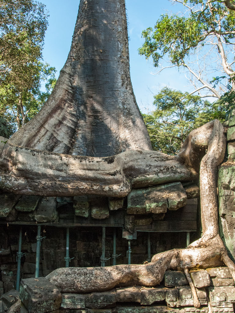 Huge tree root growing over the temple stone roof