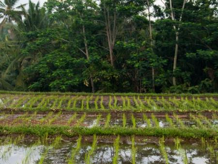 Rice paddies surrounding Gusde House