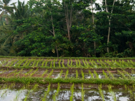 Rice paddies surrounding Gusde House