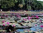 Pond full of magenta water lilies adjacent Angkor Wat