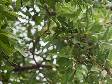 Young green almonds, commonly eaten in the region