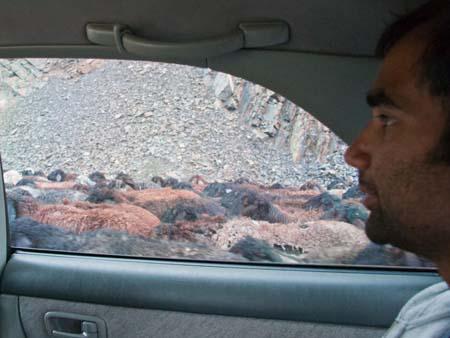 Driving through goats, a normal Kyrgyz day