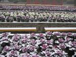 Snow covered purple lettuces