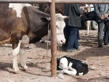 Cow and calf at Kashgar livestock market