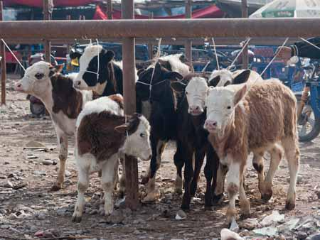 Cows ready to be sold at the Kashgar livestock market