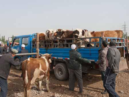 Cows being unloaded from a truck