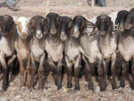 Goats lined up at the Kashgar livestock market