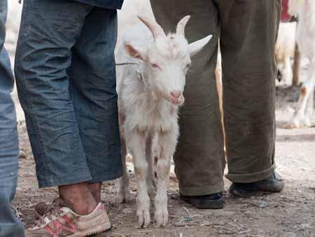 A billy goat between men
