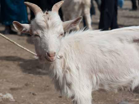 A young billy goat