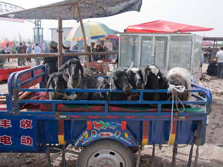 A ute full of goats at the Kashgar livestock market