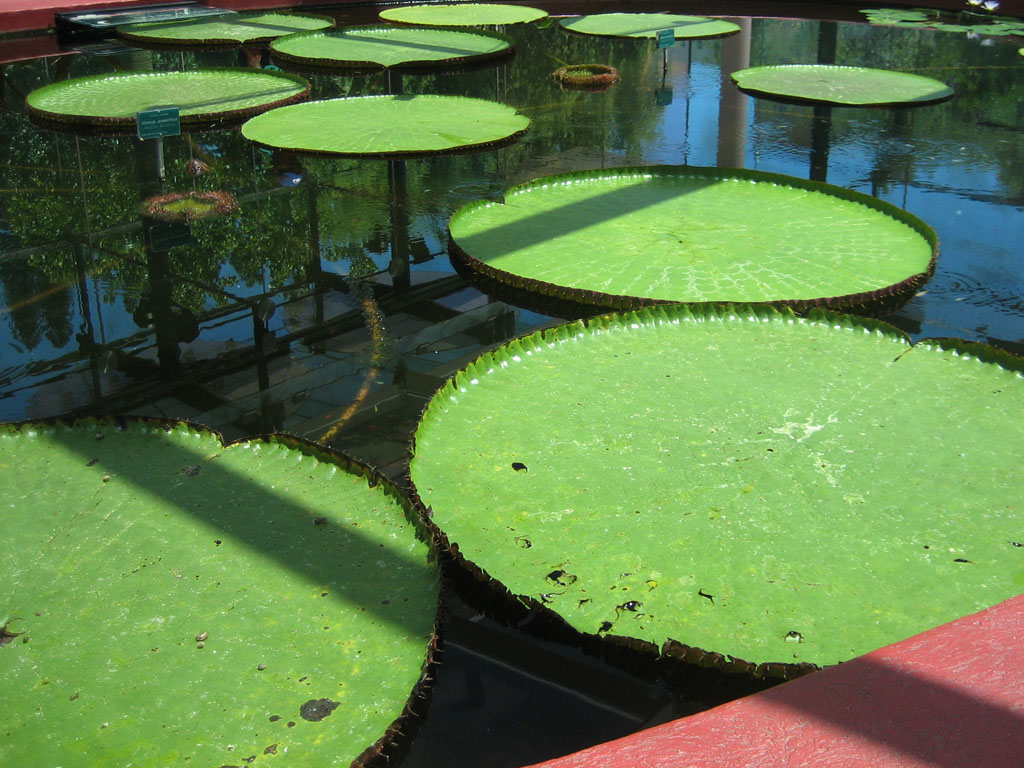 http://sonyaandtravis.com/images/great-outback-08/adelaide-i-giant-amazon-waterlily.jpg Giant Amazon Water Lily