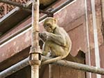 Monkey looking busy on some scaffolding