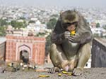 Male monkey eating a mango with the Galta Gate in the background