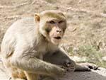 Angry monkey