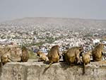 Monkeys sitting on a wall with Jaipur in the background