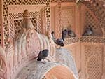 Pigeons roosting on the red stone carvings of the Mehrangarh Fort