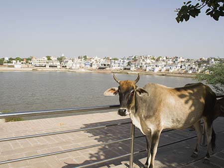 Cow on the edge of Pushkar Lake