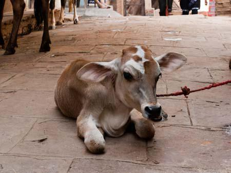 A calf, a baby cow, a common occurrence on Indian streets