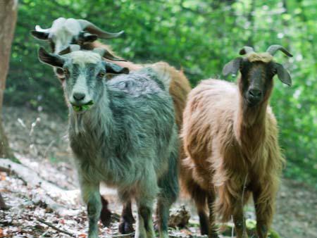Goats in Nahar Koran forest
