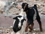 Many baby goats (kids)