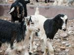 Many baby goats (kids)