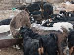 Many baby goats (kids) eating