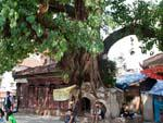 A chaitya completely shattered by a bodhi tree