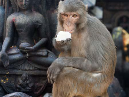 A monkey eating a square of ice-cream with a Buddha statue visible in the background