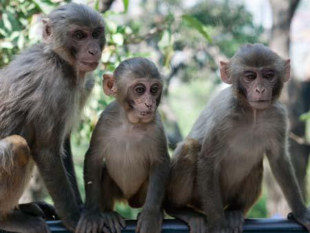 Three sitting monkeys