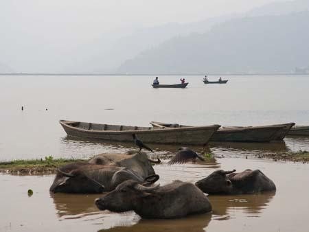 Water buffalo enjoying the cool waters of Lake Phewa Tal