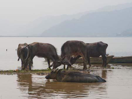 Water buffalo in a brawl in a sandbank on Lake Phewa Tal