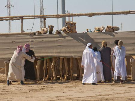 Camels about to start the race