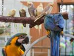 Blue-and-yellow Macaw at animal souk