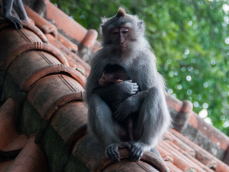 Mother and baby monkey sitting on a roof